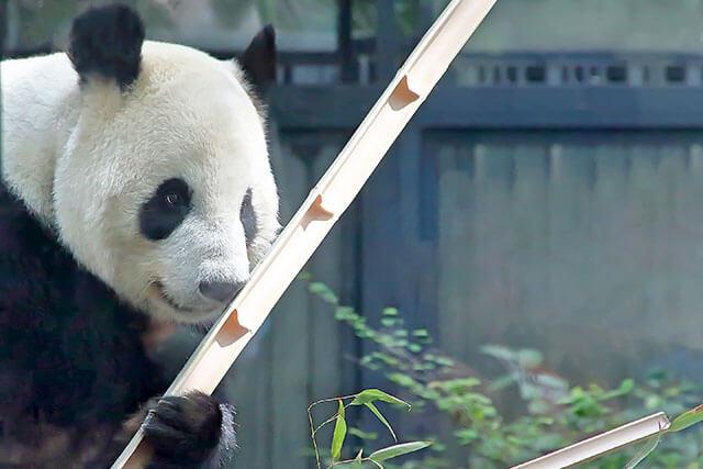 上野動物園 熊貓