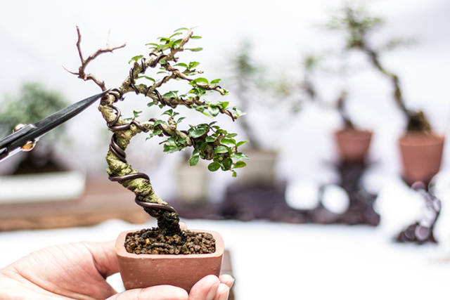 Making windswept style (Fukinagashi) bonsai