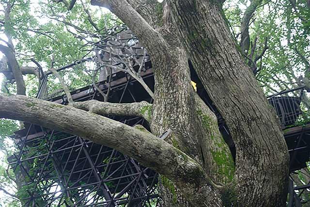 「森の空中基地 くすくす」 樹齢約300年のクスノキと一体化した国内最大級のツリーハウス