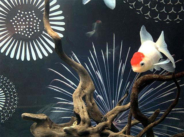 夏に人気の金魚の展示