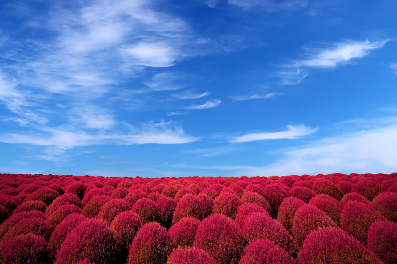【関東】見頃はまさに秋!東京都内から日帰りで行ける秋の花の名所7選