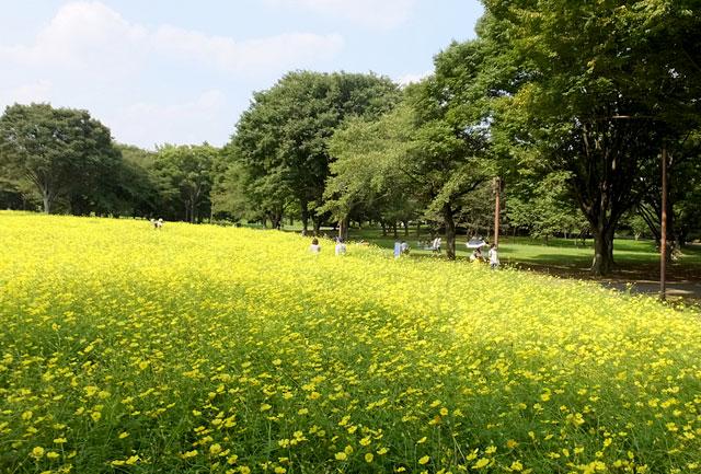 国営昭和記念公園 キバナコスモス(レモンブライト)