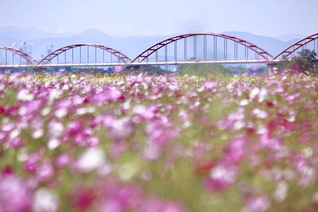 吹上コスモス畑(コスモスアリーナふきあげ)