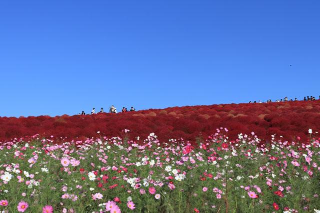 ひたち海浜公園みはらしの丘 コキアが紅葉するのは10月中旬~