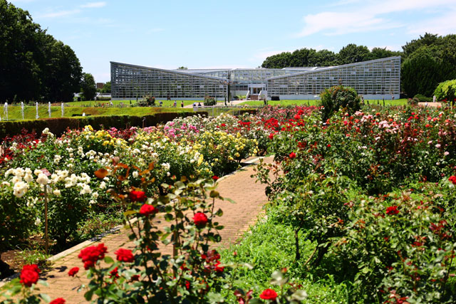 神代植物公園 秋のバラが見られるのはバラ園(本園)