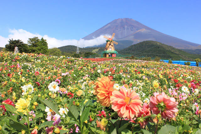 富士山の裾野 天空の花畑 富士山とのコラボは圧巻