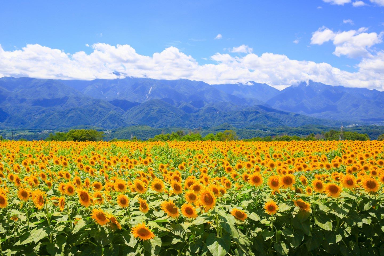 【関東】夏の絶景「ひまわり畑」おすすめ16選|見頃&アクセス情報も