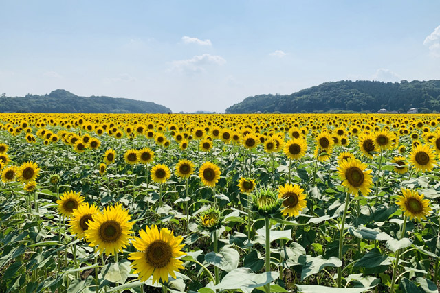 益子町のひまわり畑