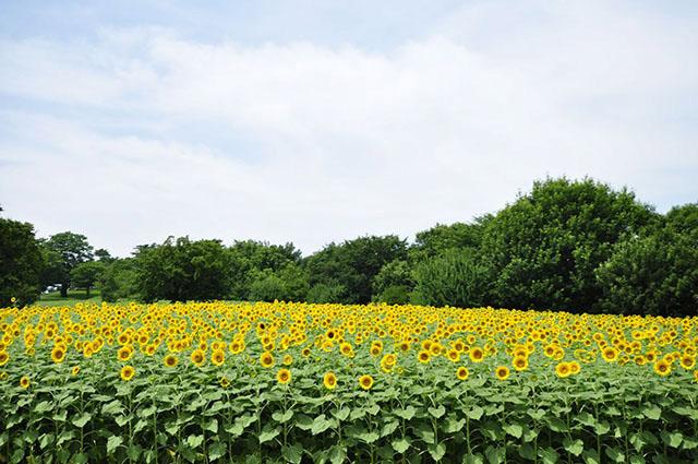 国営昭和記念公園 約4万本のひまわり