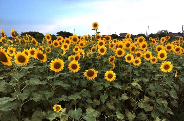 蓮田ひまわり畑