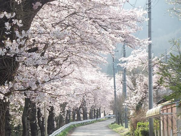 長瀞駅周辺で見ることのできる見事な桜並木。