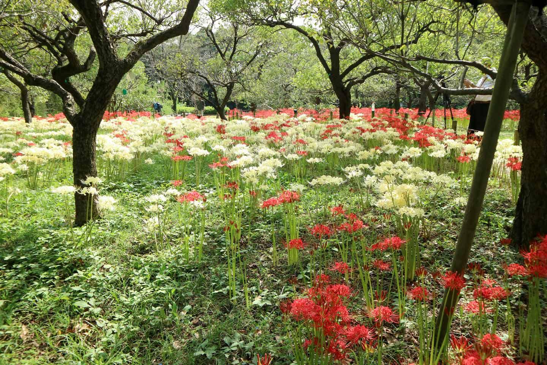 【2020秋】「彼岸花」が咲く関東の絶景名所14選|都内の穴場も要チェック