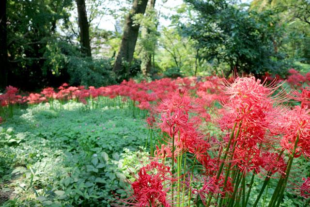 小石川植物園 森の小径一面に咲く彼岸花