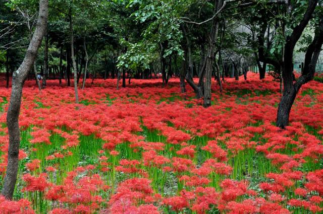 巾着田曼珠沙華公園 約500万本の曼殊沙華が咲く