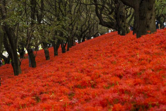 幸手権現堂堤 斜面一面に咲く約350万本もの曼殊沙華