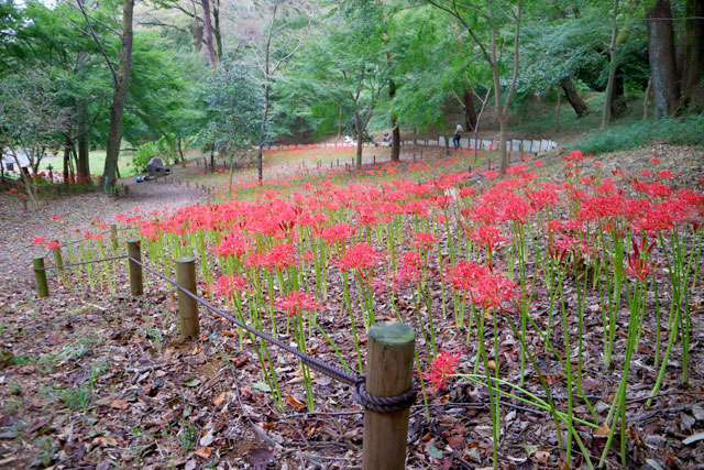 高幡不動尊 境内上の高幡山の斜面に咲く