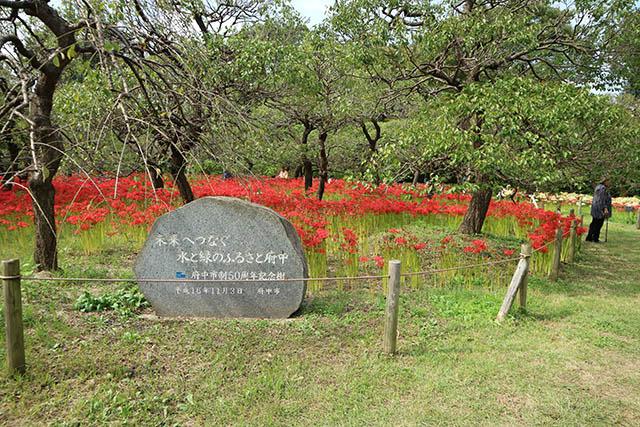 府中市郷土の森博物館 約8000本もの彼岸花が咲く