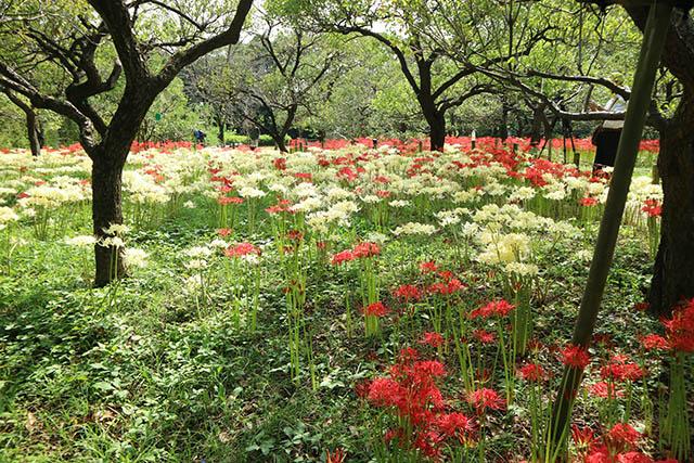 府中市郷土の森博物館 赤と白のコントラストが美しい