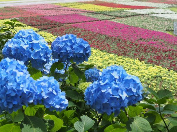 東京ドイツ村 紫陽花