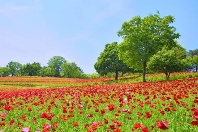 国営昭和記念公園 ポピー