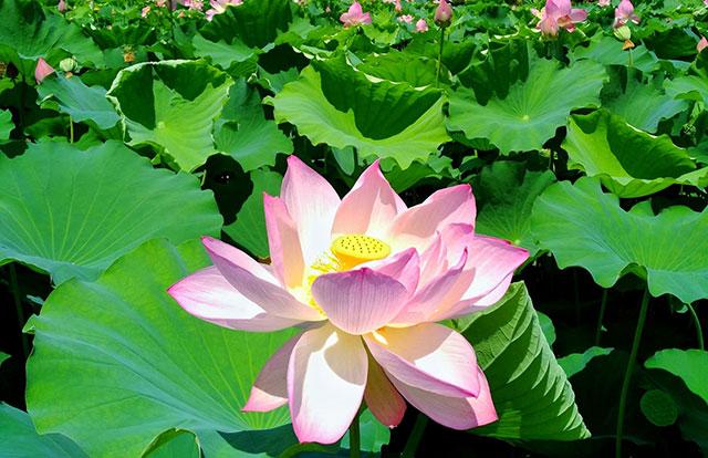 白山公園内の池に咲き乱れる美しい蓮の花