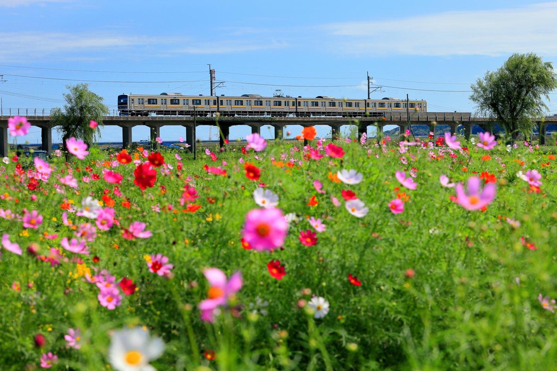 【関東】日帰りで行く!コスモス畑の絶景名所9選|イベント・アクセス・見頃情報も