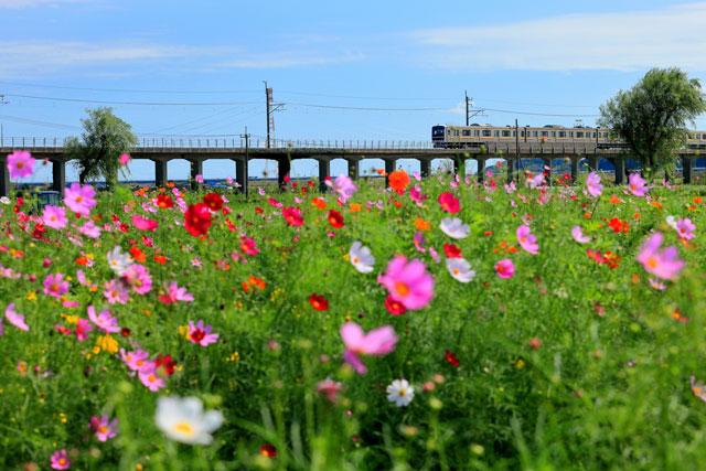 JR鹿島線十二橋駅からすぐ 与田浦コスモスまつり
