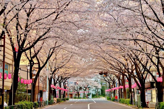 東京都 中野通りの桜並木