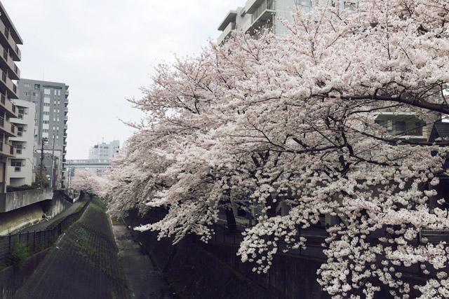 東京都 乞田川沿いの桜並木