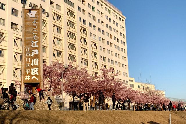東京都 旧中川沿い河川敷の河津桜