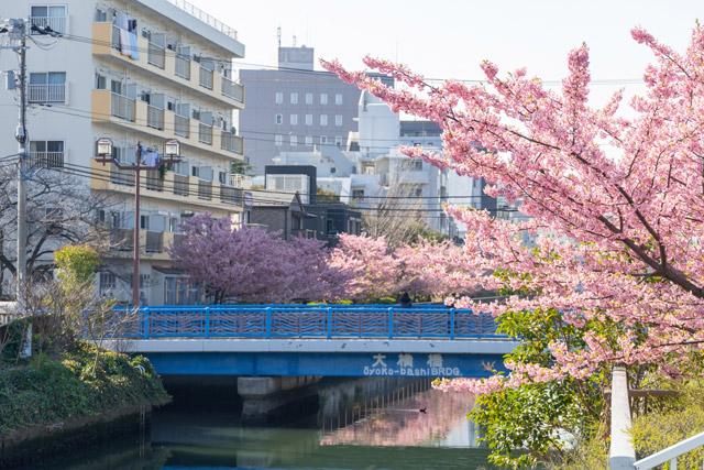 東京都 大横川沿いの桜並木