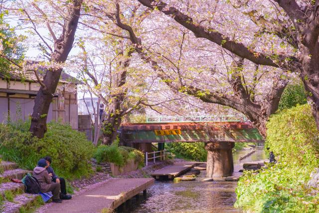 神奈川県 二ヶ領用水(宿河原堤桜並木)