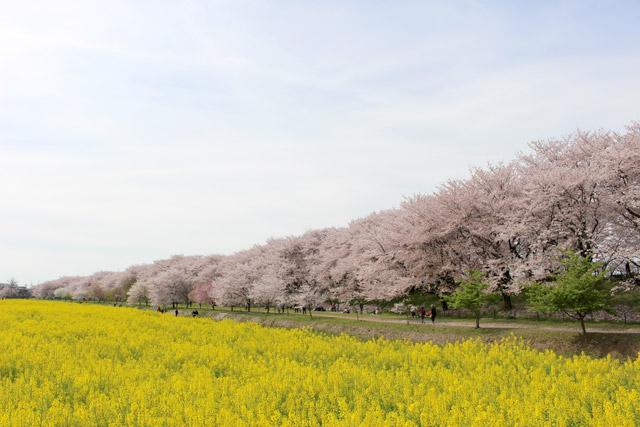 埼玉県 幸手権現堂桜堤