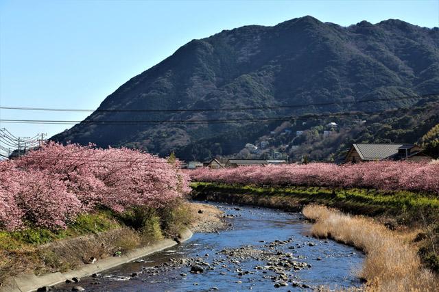 静岡県 河津川沿いの桜並木
