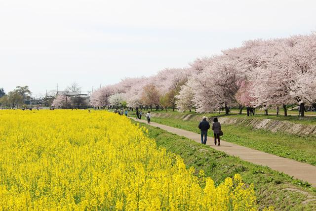 幸手権現堂桜堤 桜並木と菜の花畑の間の小径を散策