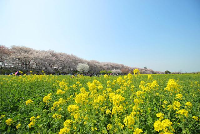 幸手権現堂桜堤 春は桜と菜の花、秋は曼殊沙華の名所
