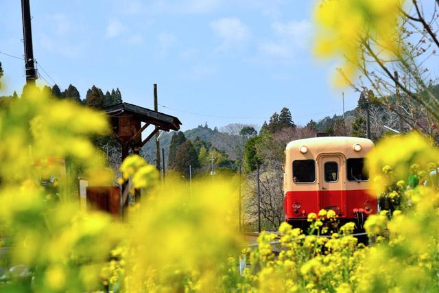小湊鐡道 レトロな列車と菜の花のコラボ