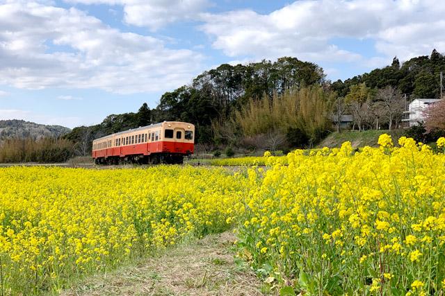 小湊鐡道 養老渓谷駅から徒歩約15分のところにある菜の花畑