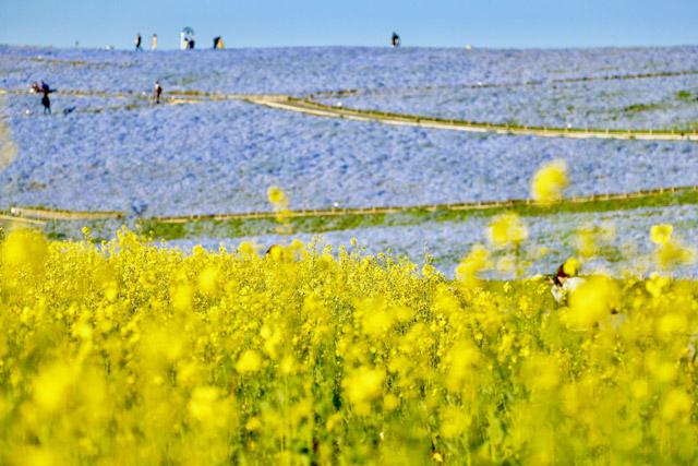 国営ひたち海浜公園 ネモフィラと菜の花のコントラスト
