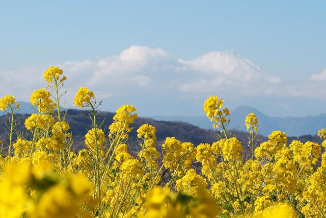 吾妻山公園 360度の大パノラマを望む絶景菜の花畑