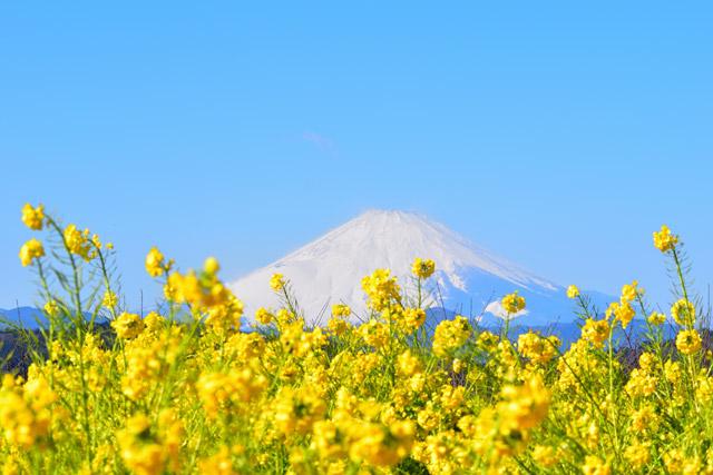 吾妻山公園 菜の花と富士山のツーショットは必見