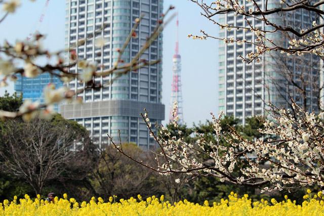 浜離宮恩賜庭園 ビル越しの東京タワーと菜の花のツーショット