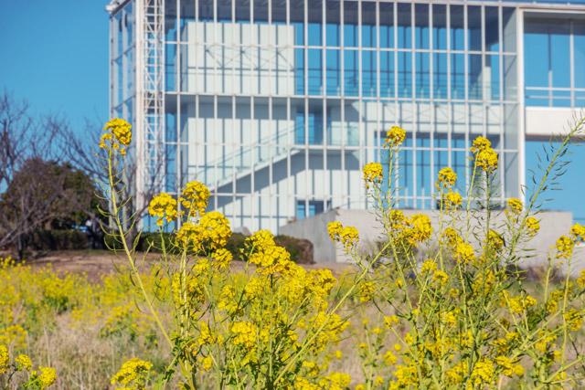 葛西臨海公園 展望施設「クリスタルビュー」付近が菜の花スポット