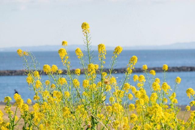 葛西臨海公園 海と菜の花のツーショットが新鮮