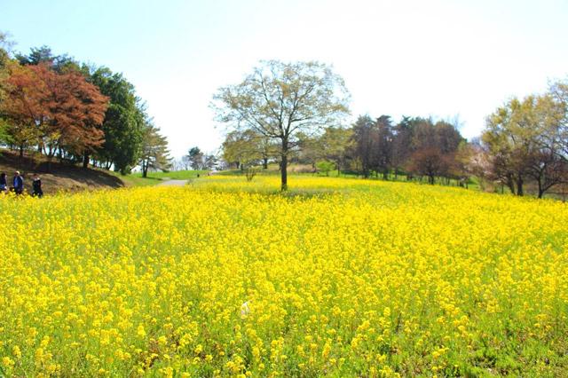 国営昭和記念公園 シンボルツリーが立つ「みんなの原っぱ」は一面菜の花畑に
