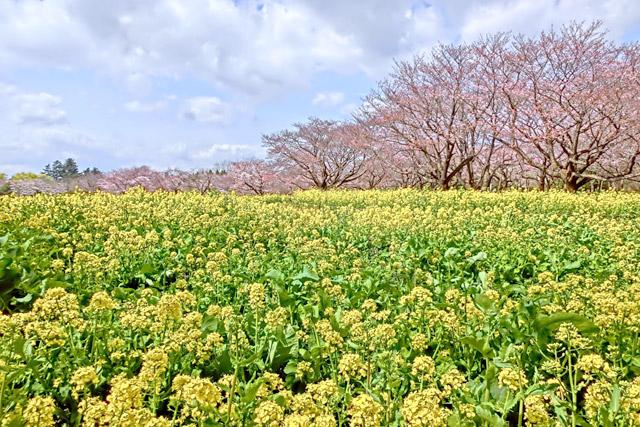 国営昭和記念公園 桜と菜の花のコントラストを楽しんで