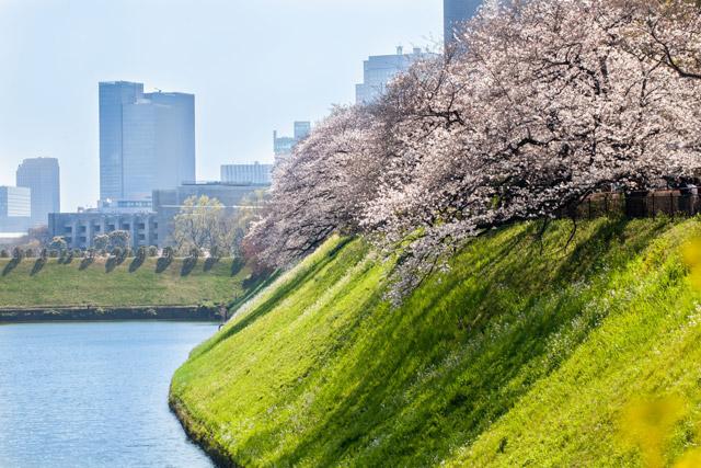 千鳥ヶ淵公園 緑道沿いの桜並木と菜の花とビル群