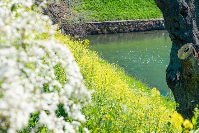 千鳥ヶ淵公園 お江戸の春を思い起こさせる風景