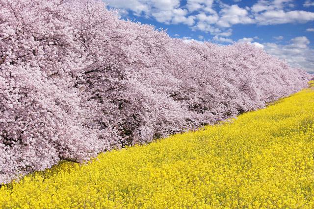 熊谷桜堤 桜と菜の花と青空のコントラスト