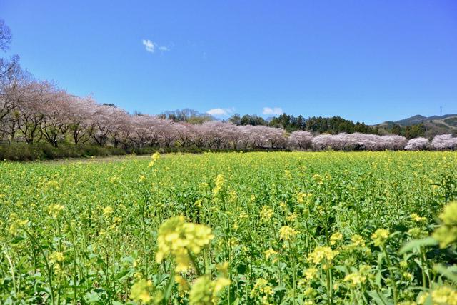 巾着田 桜と菜の花畑